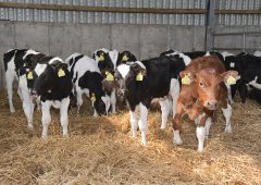 Achieving replacement heifer target weights with TopStart