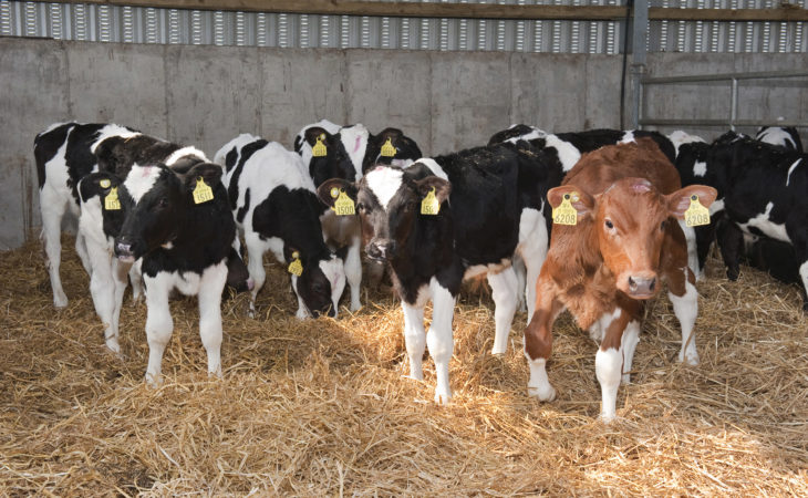 Veal market conundrum: 'We have a lot of calves that nobody wants'