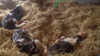 Triplet calves and 'massive' lamb delivered in the west