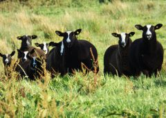 Pedigree Zwartble breeders given green light to establish national society