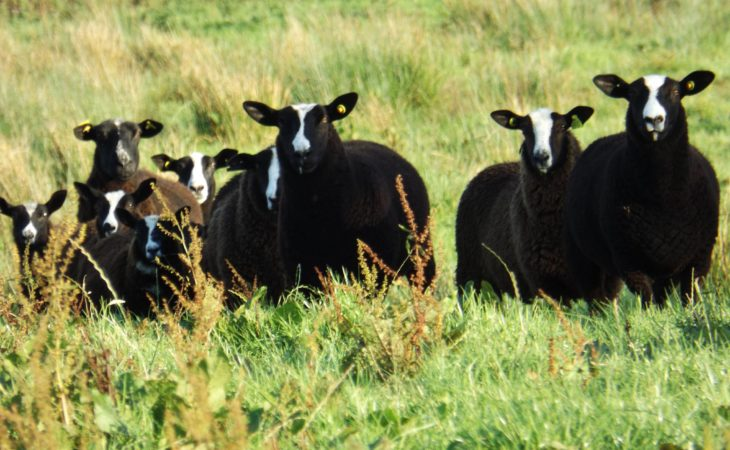 Pedigree Zwartbles breeders given green light to establish national society