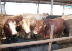 Cattle throughput pressing the 900,000 mark