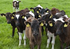 What's happening to dairy calves at grass?
