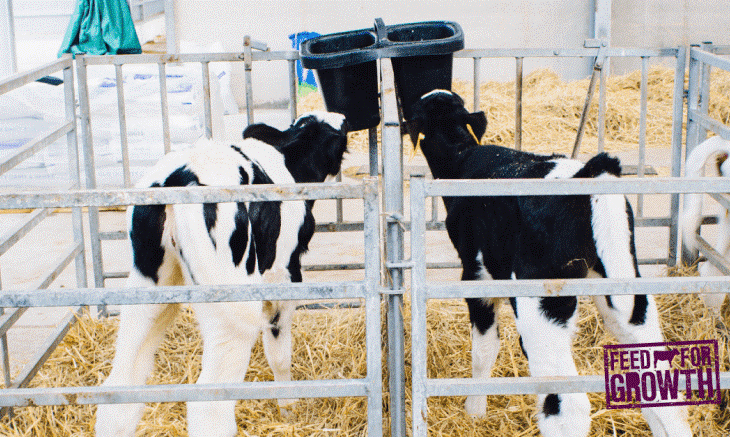 Optimising calf nutrition to drive healthy performance