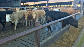 Straw or slats: Which works best for beef heifer performance?