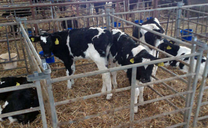 Heifers on course for calving targets as Transformula helps prevent calf rearing problems