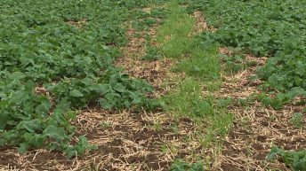 Tillage management: Fungicide and fertiliser applications on oilseed rape