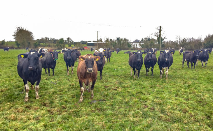 Breeding the 'invisible' cow and striving for simplicity in Co. Tipperary