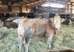 What factors influence cattle cleanliness during housing?