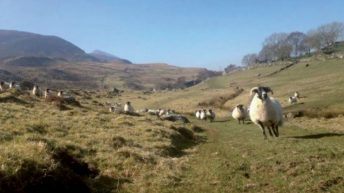 Growing a sheep farming business from 23ac to 400ac in Co. Mayo