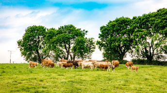 Cattle exports to Northern Ireland drop by 52%