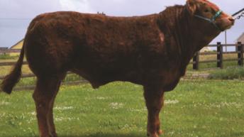 5 Gene Ireland beef bulls for sale