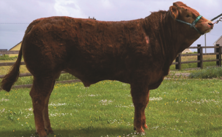 5 Gene Ireland beef bulls for sale