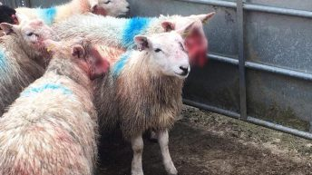 Graphic content: Sheep maimed in 'horrific' dog attack