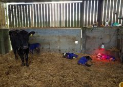 Meet the 1 in 11 million calves from Co. Down