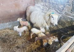 Farmer surprised to find ewe and five healthy lambs