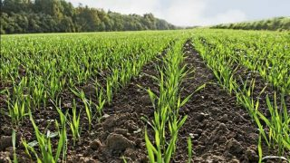Keep an eye out for slugs in your winter cereal crops