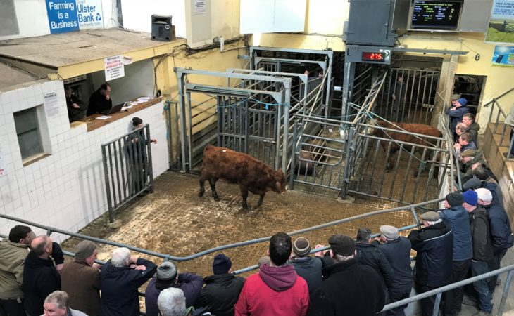 Pics and prices: Bullocks trade to a top price of €1,535 at Tullamore Mart