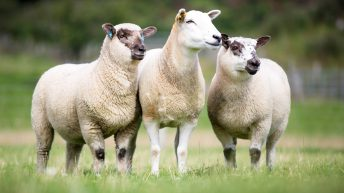 Priority on sheepmeat for 2019 Chinese market access