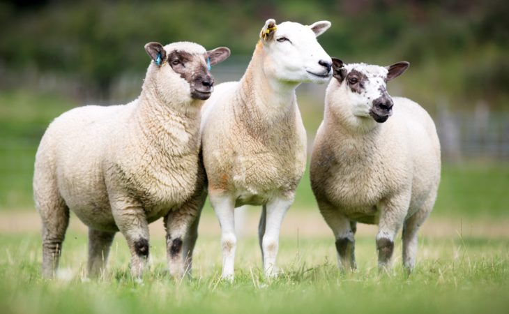 Sheep farmers missing out on more than £5 million on lamb value