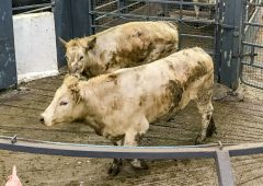 Pics and prices: Bullocks sell to a top price of €1,780 at Carnaross Mart