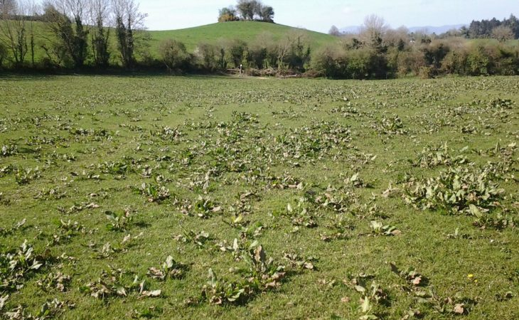 How much will weeds challenge output from grass after a difficult spring?
