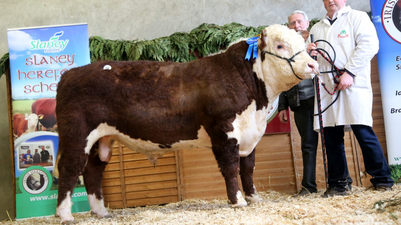 National Hereford Calf Show set for this Sunday