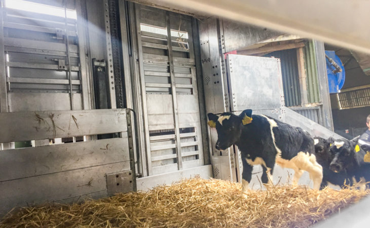 Export focus: Meet the family shipping thousands of calves each year