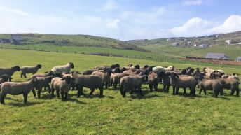 Sheep focus: Success with Suffolks at Malin Head