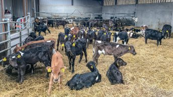 Beef focus: Making the switch to dairy calf-to-beef in Co. Longford