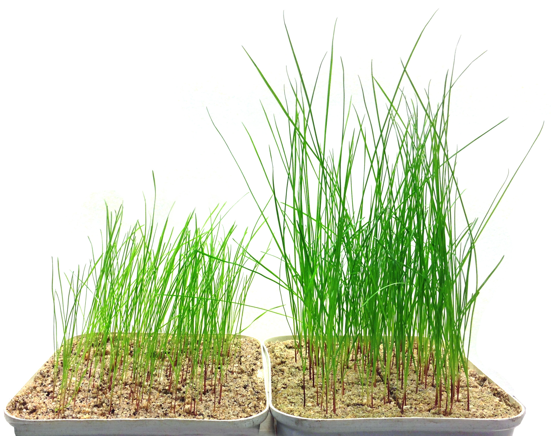 how to grow fresh grass after detaching