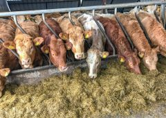 Cow trade takes another setback in Northern Ireland