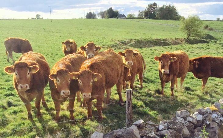 Heifers die of lead poisoning in Mayo