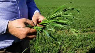 CROPS WATCH: Winter wheat flying through growth stages
