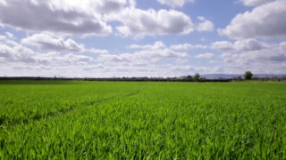 CROPS WATCH: Stressed crops needs nutrition