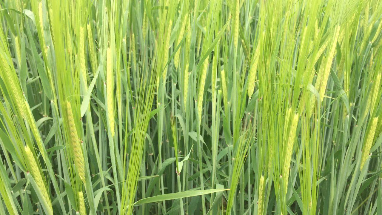 Barley diseases coming in waves