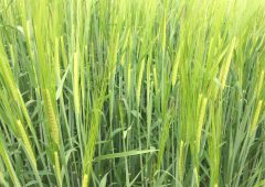 Boortmalt expect to take in more malting barley than previously indicated
