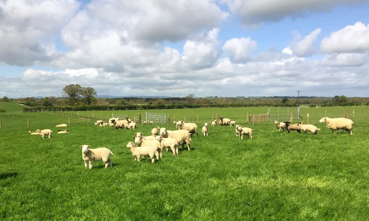 Sheep focus: 'To make a living out of sheep, you need to have output'