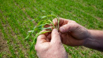 CROPS WATCH: Creating a good root structure in spring barley is key