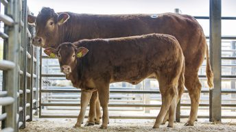 Mart trade: 80 entered for Limousin spring sale