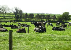 Future culls on the cards if dairy emissions don't subside