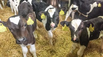 BVD prevalence down 84% since 2013