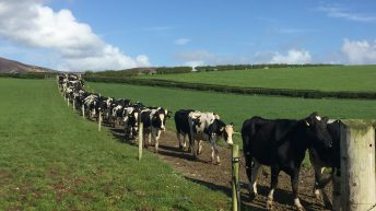 Dairy focus: Calving 300 cows and selling surplus stock in Co. Donegal