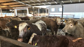 Pneumonia: What impact does it have on slaughter dates?