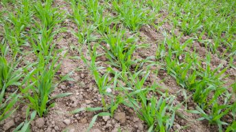 Plenty of aphids about, but March sowing has reduced risk