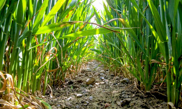 Controlling plant diseases without chlorothalonil