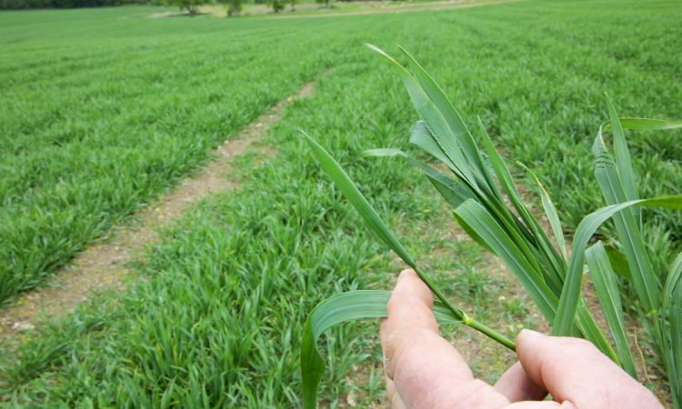 CROPS WATCH: Straight forward T2 on winter wheat