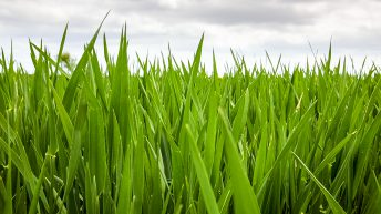 CROPS WATCH: Clean winter barley and oats reducing costs