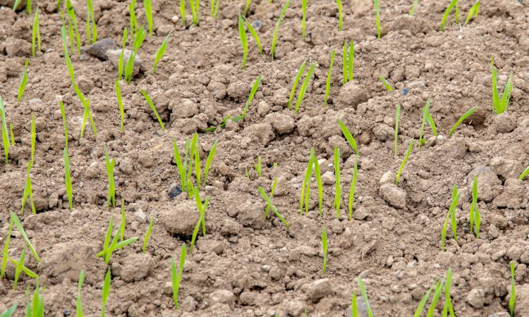 Tillage management: Keep an eye on nitrogen rates on spring cereals