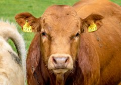 Beef trade: Negotiations start at 400c/kg for factory-fit heifers